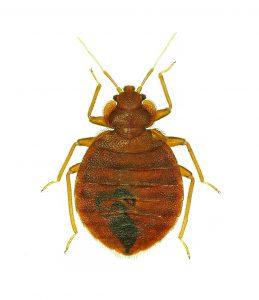 bed bug photo