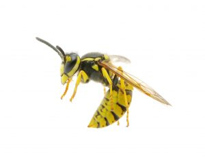 wasp photo